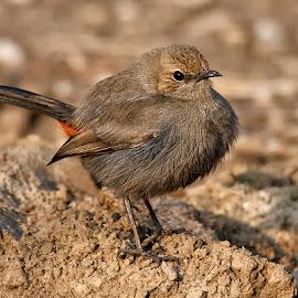 by Abdul Rehman - Animals Birds (  )