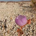 Desert Five-Spot Flower