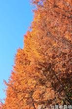 Photo: 拍攝地點: 梅峰-一平臺 拍攝植物: 水杉 拍攝日期: 2014_11_25_FY
