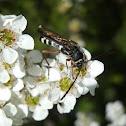 Longicorn Beetle - ? wasp mimic