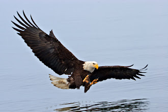 """Photo: #WildlifeWednesday  and one more for WildlifeWednesday by +Mike Spinak which als fits well for #WowWednesday by +Jan Paul Anthony Zabala.  Bald eagle with wide open wings just above the surface, ready to catch a fish.  Watching bald eagles is always fun but being close to them when they have their wings wide open is simply amazing - I would not find any other description for it. This perspective gives you a """"new feel"""" how large and powerful those beautiful birds are.  I photographed many bald eagle and I'm looking forward to photograph even more, I never will be bored watching and photographing these magnificent birds.  If you interested in more of my eagle pictures please check out my website, I just started to update my photo gallery and some of the photos are now available as hires wallpaper in size up to 1440px:  http://www.hickerphoto.com/photos/eagle-pictures.htm  #PlusPhotoExtract"""
