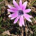 Anemone fior di stella