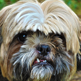 do not mess with me by Patrik Voicu - Animals - Dogs Portraits ( angry, shi tzu, dog portrait, dog,  )