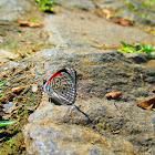 Cramer's Eighty-eight butterfly