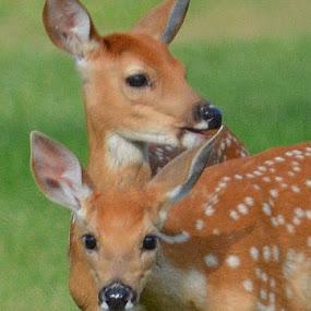 Twins by Lyn Daniels - Animals Other Mammals (  )