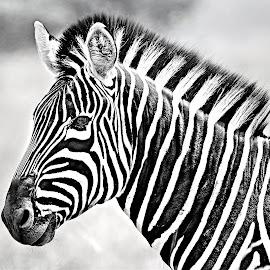 Zebra Stallion by Pieter J de Villiers - Black & White Animals