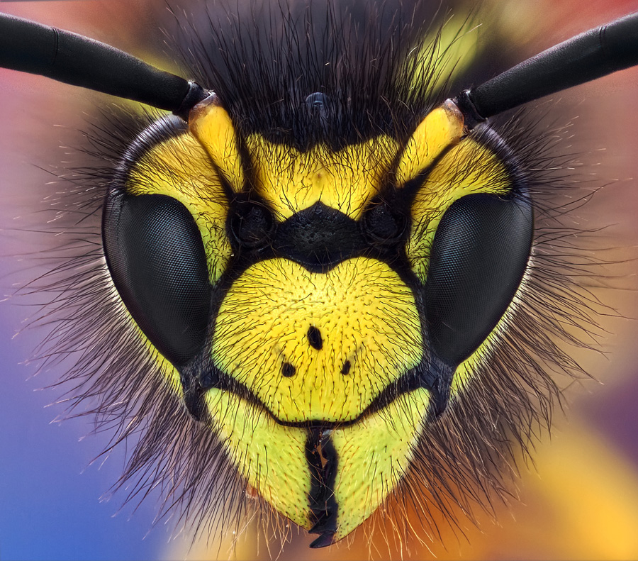 wasp by Omid Golzar - Animals Insects & Spiders ( wasp )