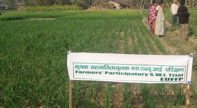 Photo: Wheat sown with SWI techniques at 50 days after sowing. 2011 [Photo provided by RB Khadka]