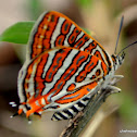 Indian common silverline
