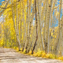 Aspen Dollars by Richard Duerksen - Nature Up Close Trees & Bushes ( 2017, ridgeway, colorado, sneffles, road, last dollar, aspen,  )