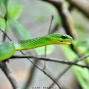 Greater Green Snake (NonVenomous)