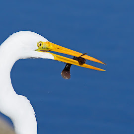 Lunch Time by Bill Diller - Animals Birds ( egret, lunch, michigan, nature, eating, fish point wildlife area, state wildlife area, dinner, water, dinner time, food, blue, white, fish, wildlife area, great egret, lunch time, marsh, wildlife )