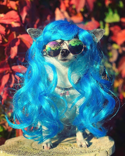 Apparently Dogs In Wigs Are An Instagram Trend And Here Are 50 Of The Cutest Ones
