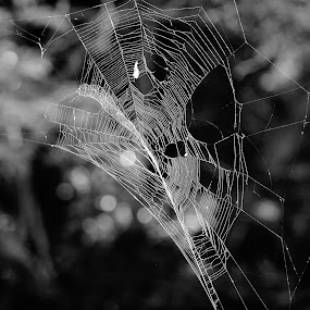 web in black and white by Carolyn Lawson - Nature Up Close Webs