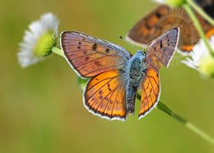 Photo: Lycaena alciphron, Cuivré mauvin ou grand argus bronze, Purple-Shot Copper  http://lepidoptera-butterflies.blogspot.com/