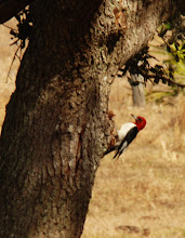 Photo: Red-headed Woodpecker adult in central Florida