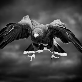 Harris hawk in flight by Sandy Scott - Black & White Animals ( bird, predator, animals, b&w, nature, avian, wings, black & white, hawk in flight, wildlife, raptor, harris hawk, hawk,  )
