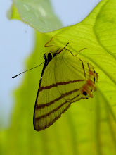Photo: ACUTE SOMBERMARK--euselasia corduena--EL JARDIN GARDENS