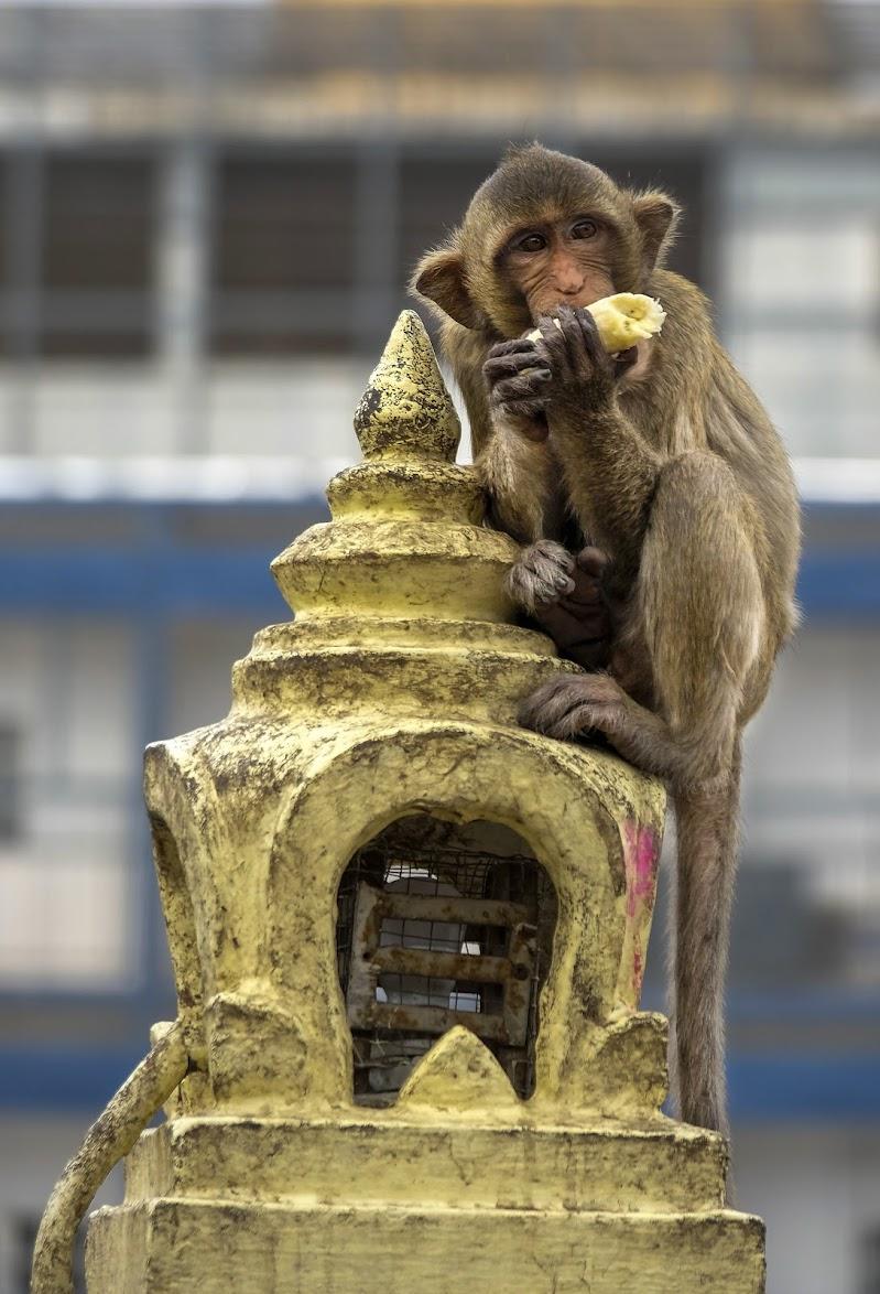Scimmia di leorol