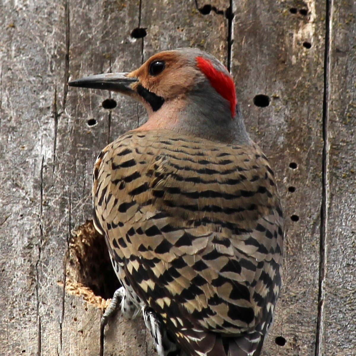 Northern Flicker Woodpecker (Yellow-shafted)