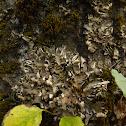 Tree Pelt Lichen