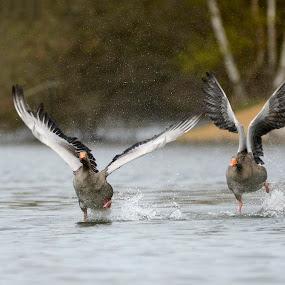 Get off my property! by Peter Kostov - Animals Birds ( bird, wildlife, geese, animal, goose,  )