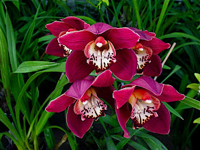 Photo: deep red cymbidium
