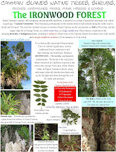 Photo: Ironwood Forest, Grand Cayman, is a living museum.  Trees of cultural significance, used in traditional house construction and  ship-building are found in the forest. Ann Stafford, Jan.24, 2007