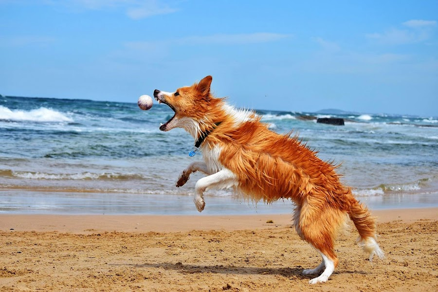 by Roz Elliott - Animals - Dogs Playing ( sand, ball, air, beach, dog,  )