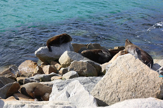 Photo: Year 2 Day 168 -  4 Seals Sunning Themselves