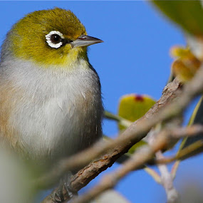 Silvereye Smart by John Dutton - Animals Birds ( silvereye, bird )