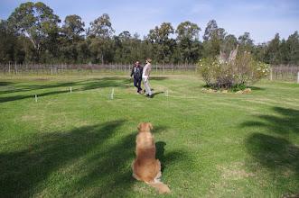 Photo: #semillon #winedogs #croquet #MistyGlen #HunterValley #winecountry #AroundHermitage
