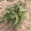 Bichhutee or Indian Stinging Nettle