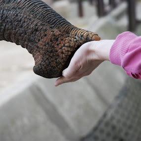 Friends by Nikola Bogdanic - Animals Other Mammals ( love, hand, friends, zoo, elephant )