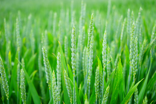 Enfermedades del trigo controladas con fitosanitarios