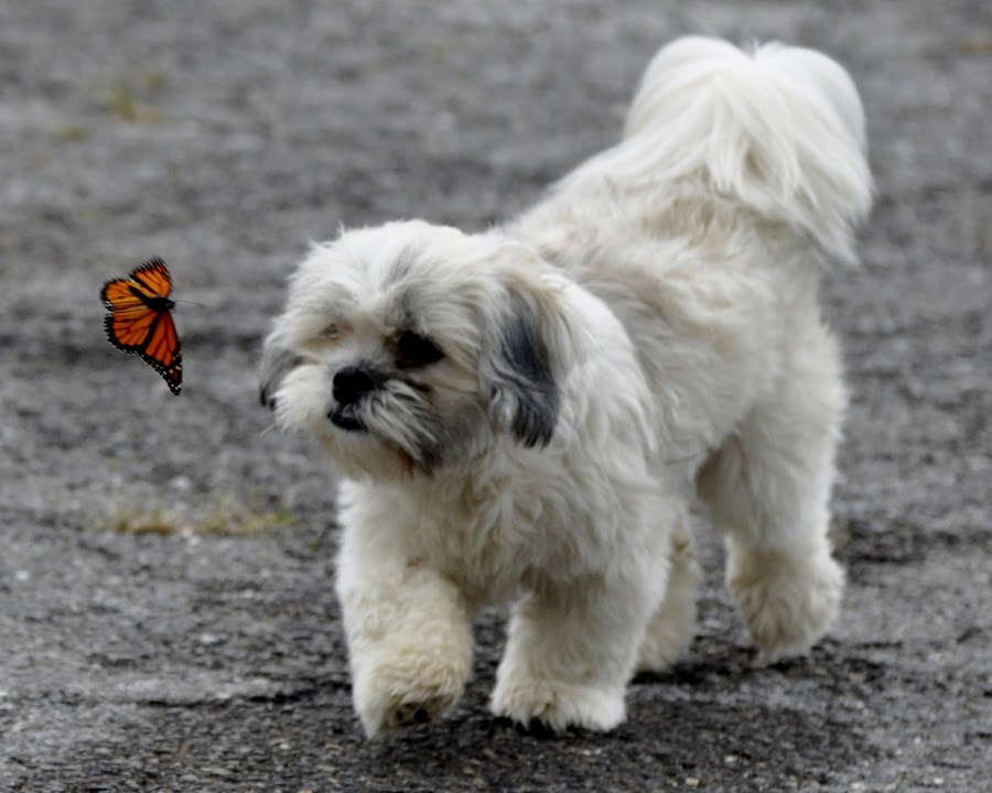 Dog and the Butterfly by Christy Rhoads - Animals - Dogs Playing