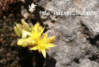 Photo: ΣΕΔΟ ΤΟ ΠΑΡΑΛΙΟ  sedum littoreum Mικρό παχύφυτο με βλαστό λεπτότερο στην βάση και σπατουλοειδή φύλλα με κοκκινωπά στίγματα.Ανθη κίτρινα με πέταλα γραμμοειδή λογχοειδή και κοντίτερα σέπαλα. Παρά το όνομα του απαντάται συνήθως σε βράχους μέχρι και την ορεινή ζώνη ΚΥΠΑΡΙΣΣΟΔΑΣΟΣ ΚΡΙΤΣΑΣ