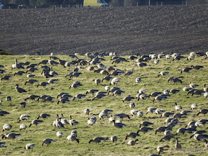 Photo: Pink-footed Geese, Bullers of Buchan