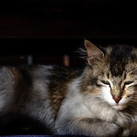 Thoughtful by Akashneel Banerjee - Animals - Cats Portraits ( light, cat, shade, indoor, portrait )