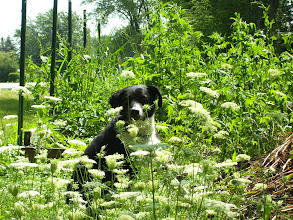Photo: Queen ann lace, Maggie and backyard area