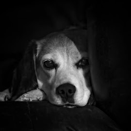 by Andrew Lawlor - Animals - Dogs Portraits