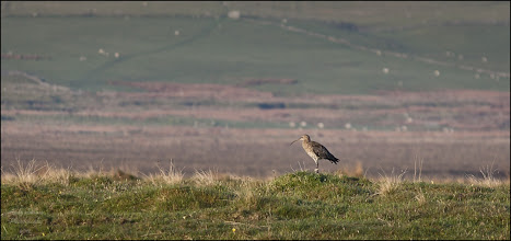 """Photo: Bird N°15 Curlew - Numenius arquata  Not an easy bird to shoot, it seemed a bit flighty and it was well camouflaged finally it appeared on the ridge enabling me to get the shot.  The Eurasian Curlew, Numenius arquata is a wader in the large family Scolopacidae. It is one of the most widespread of the curlews, breeding across temperate Europe and Asia. In Europe, this species is often referred to just as """"the Curlew"""" and in Scots known as the """"*Whaup*"""".  This is the largest wader in its range, at 50–60 cm (20–24 in) in length, with a 89–106 cm (35–42 in) wingspan and a body weight of 410–1,360 g (0.90–3.0 lb). It is mainly greyish brown, with a white back, and a very long curved bill. Males and females look identical, but the bill is longest in the adult female. It is generally not possible to recognize the sex of a single Eurasian Curlew, or even several ones as there is much variation; telling male and female of a mated pair apart is usually possible however. The familiar call, from which this bird gets it name, is a loud curloo-oo. The only similar species over most of the Curlew's range is the Whimbrel (N. phaeopus). This is smaller, and has a shorter bill with a kink rather than a smooth curve. Flying birds may resemble a Bar-tailed Godwit (Limosa lapponica) in winter plumage, but that species is smaller, has a slightly upturned bill, and its feet are barely longer than the tail tip; in the Eurasian Curlew the feet are longer, forming a conspicuous """"point"""". This is a migratory species over most of its range, wintering in Africa, southern Europe and south Asia. Occasionally, a vagrant individual reaches places far away from its normal range, such as Nova Scotia or the Marianas. It is present all year in the milder climate of Ireland, Great Britain and the adjacent European coasts. It is generally wary. Highly gregarious outside the breeding season, the Eurasian Curlew feeds by probing soft mud for small invertebrates, but will also pick small crabs and ear"""