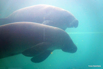 Photo: Manatee (sea cow)
