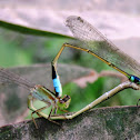 Damselfly (mating)