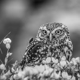 Owl by Garry Chisholm - Black & White Animals ( raptor, bird of prey, nature, little owl, garry chisholm )