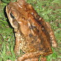 Cane Toad, Giant Neotropical Toad, Marine Toad