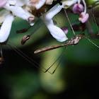 Stilt-legged Bug