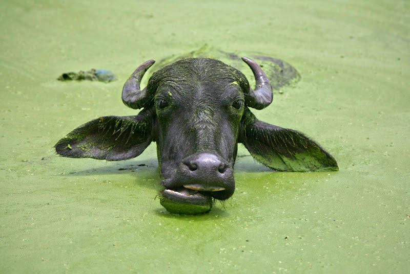 Photo: A buffalo cools off in a pond in the outskirts of Jammu in Kashmir. (Mukesh Gupta/Reuters)