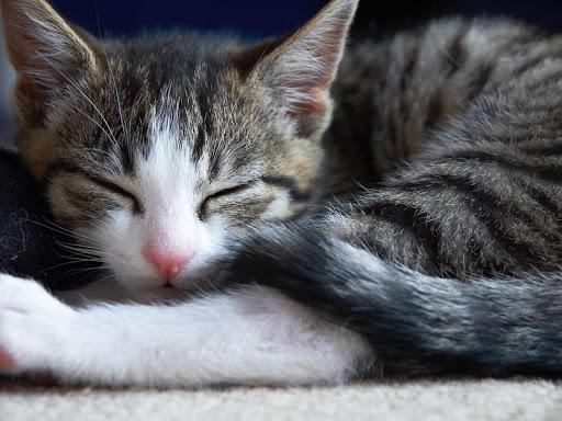 Sleeping Cat Live Wallpaper