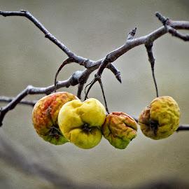 žute jabuke by Dunja Kolar - Nature Up Close Other plants ( maksimir, croatia, žute jabuke, zagreb )
